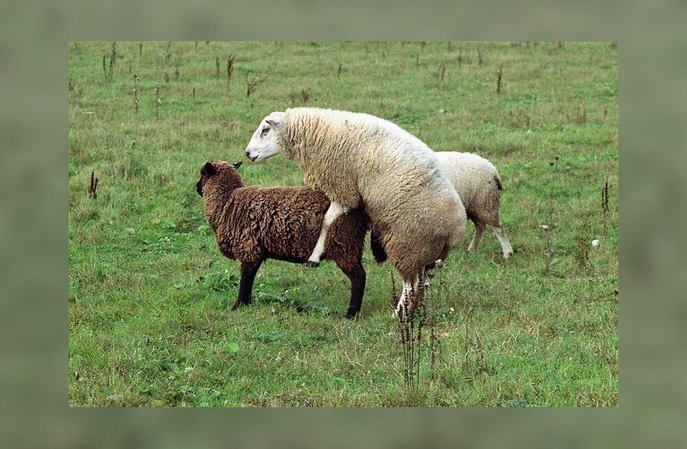 Lammaste kvaliteeti aitaks tõsta korralik jäär.