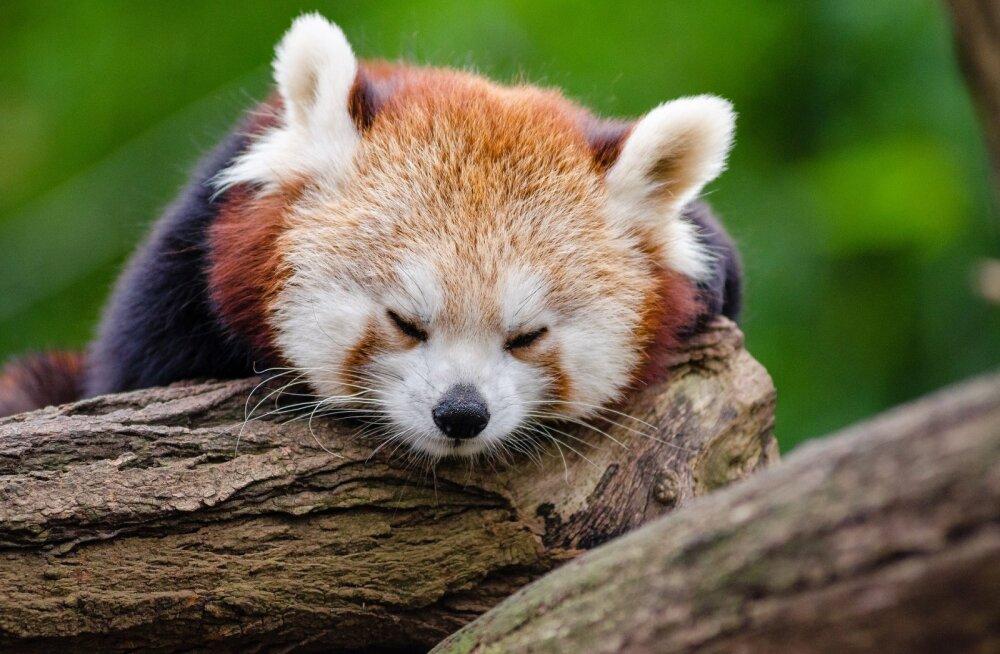 VIDEO | USA loomaaias nägid ilmavalgust haruldased punase panda pojad