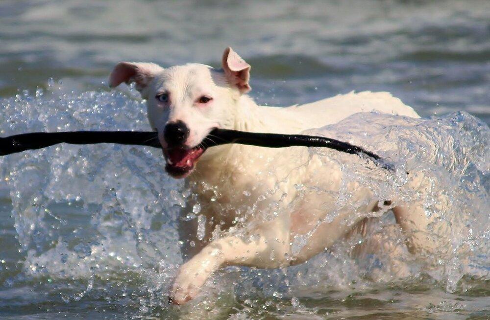 Kas sinu koer on õnnelik ja tema baasvajadused rahuldatud? Märka oma koera!