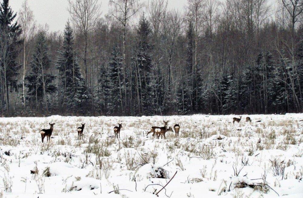 Leili metsalood | Metskitsede talv metsa ääres põllul