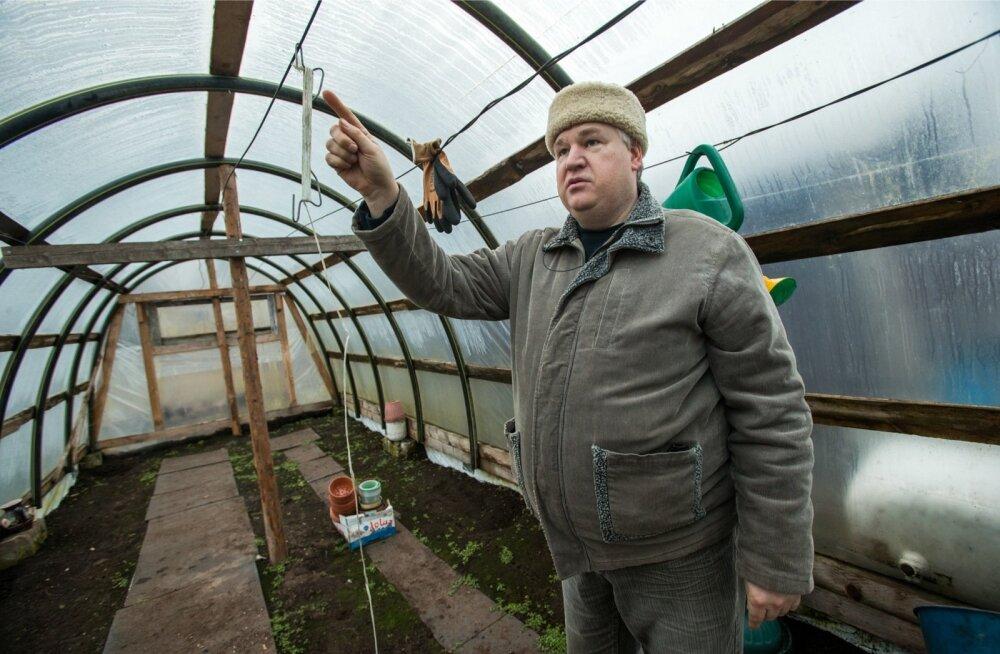 90c857b3f04 Alar selgitab koduses kasvuhoones, kuidas on võimalik tomateid  vertikaalselt kasvatada. Kasvuhoone on tema kirg