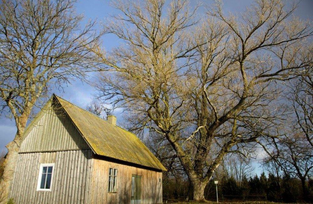 Черный тополь — самое толстое дерево Ляэнемаа