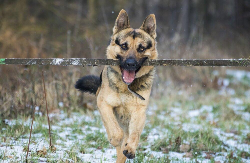 Peidetud ohud: miks koerad ja puuoksad ei tohiks käsikäes käia?