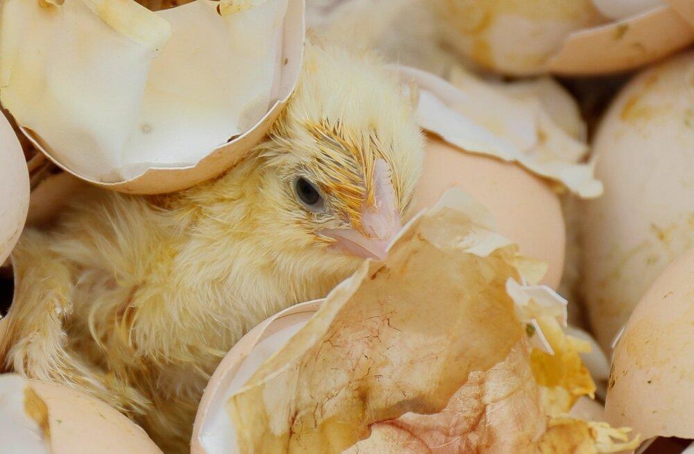 VIDEO | Tibude saaga jätkub: milline on haudejaamas kasutusel olev humaanne viis linnupoegade hukkamiseks?