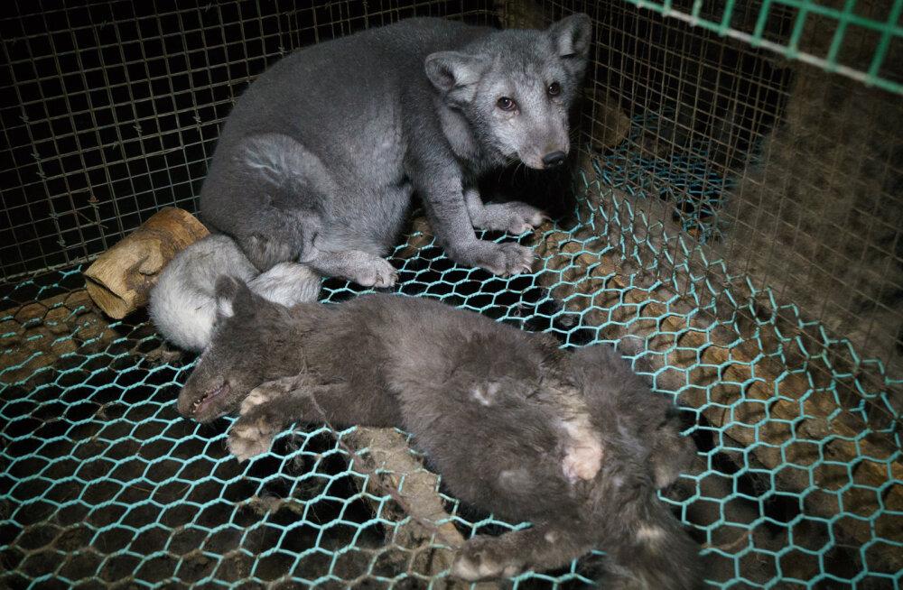 Jahmatavad FOTOD   Soome karusloomafarmide rebased on aretatud lausa hiigelmõõtmetesse