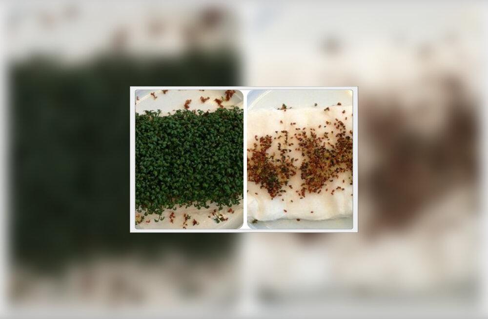 Kressi seemned, mis olid paigutatud ruuteri lähedale ei olnud kasvanud. Samal ajal kui need seemned, mis olid paigutatud teise ruumi, kasvasid jõudsalt
