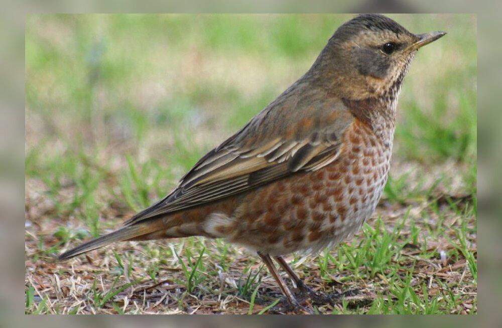 Eestis leiti uus linnuliik: ruskerästas