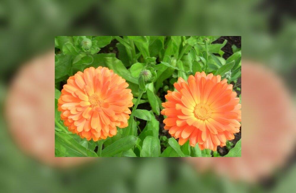 Seltsilistaimede mõjud, mida tasub kasutada või vältida iluaias