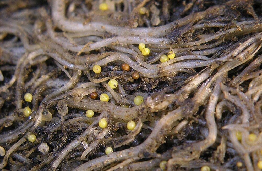 Põllumajandusamet tuvastas Eestis uue ohtliku kartulikahjustaja