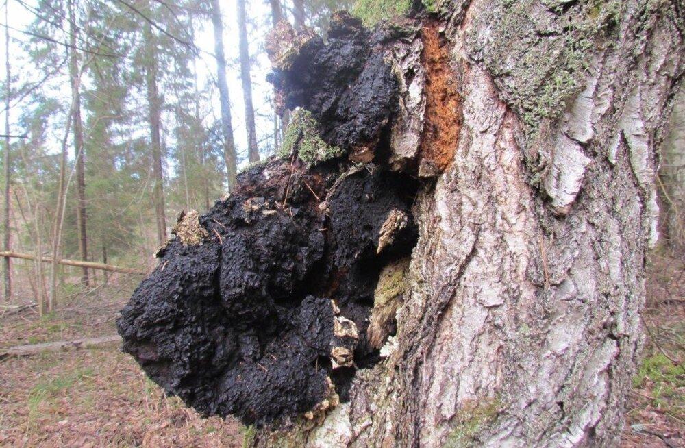 Must pässik ehk chaga on kasetüvedel leviv haigus, mille võimsad raviomadused on pannud metsaomanikud seda teadlikult kasvatama.