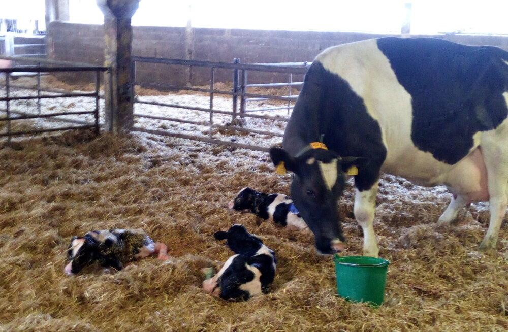 PÄEVAPILT: Voore Mõisas sündisid kolmikud vasikad