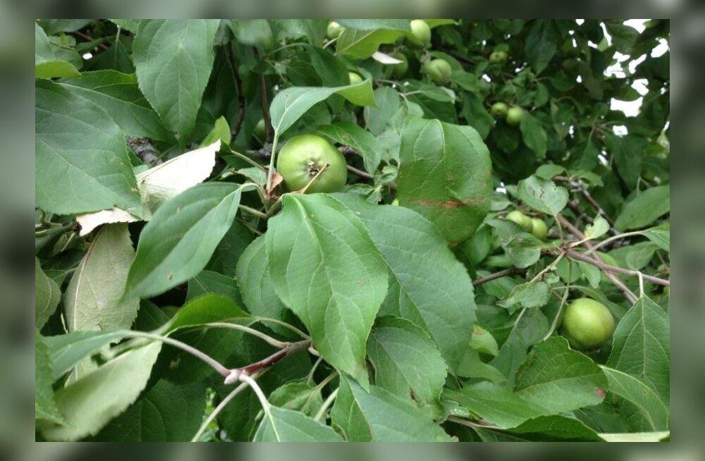 Õunapuu