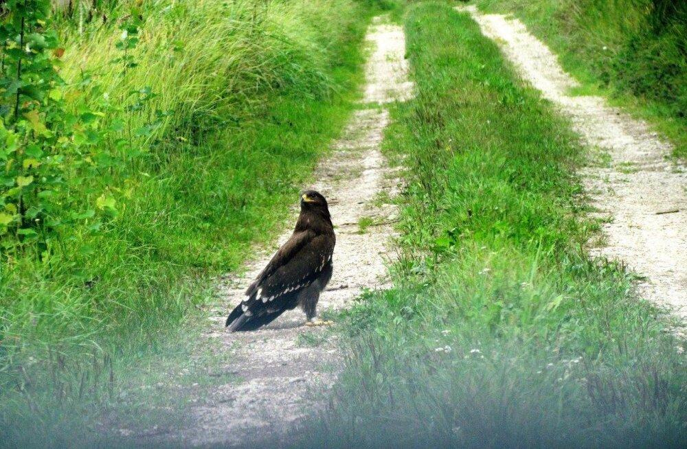 Leili metsalood | Kotkapoja iseseisva elu algus