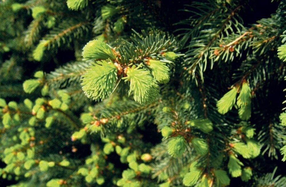 Okaspuude juurdekasv on varasuvel silmaga näha – mida pikemad helerohelised kasvud, seda parem aasta kuuskedele-mändidele on.