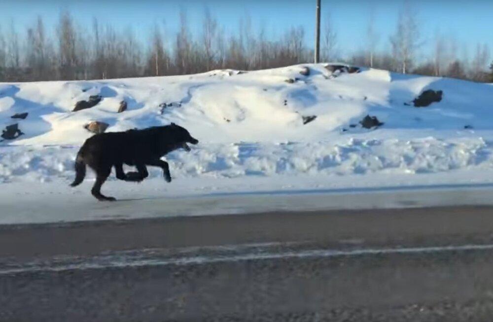 Kullafondi VIDEO | Haruldane vaatepilt: naine filmis kahte massiivset hunti täiskiirusel tema auto kõrval jooksmas