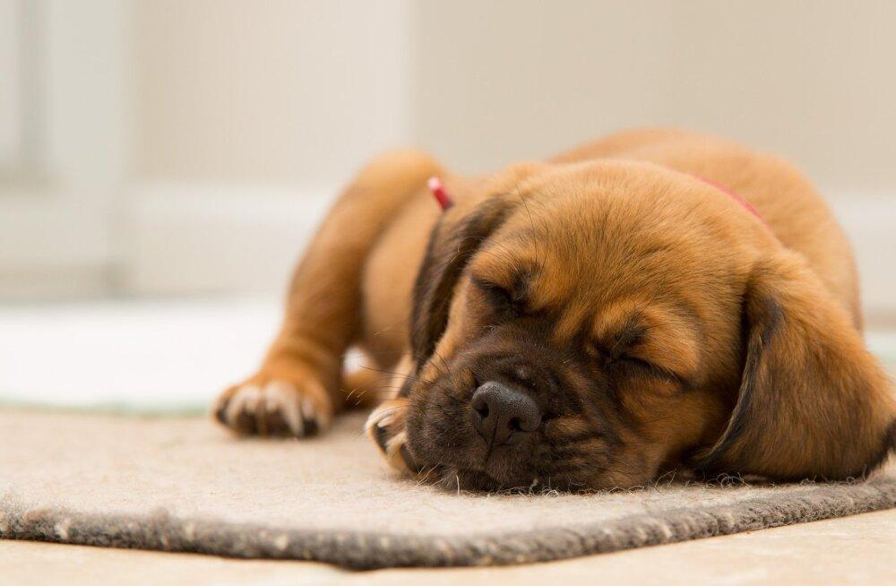 Neli unehäiret, mis võivad koeri kimbutada