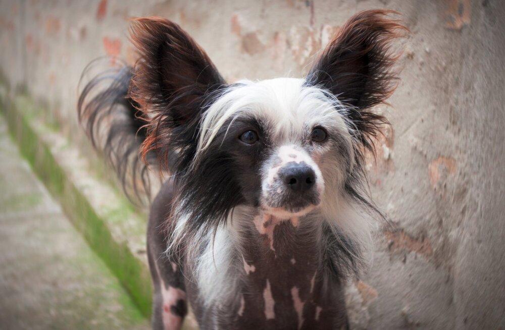 TEST   Pane end proovile ja vaata, kas sa tunned ära need kummalised ja haruldased koeratõud!