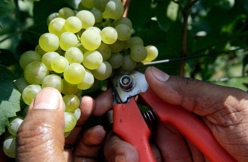 Itaalia viinamarjaistandus