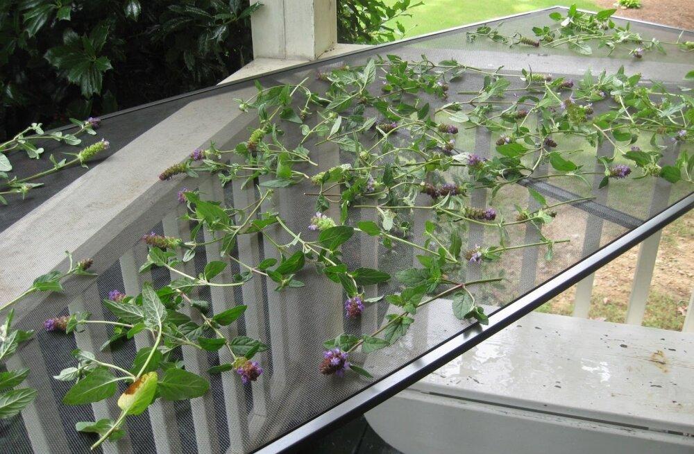 Kuivatage taimi kanga või võrguga kaetud raamil, sest õhk peab ligi pääsema ka altpoolt.
