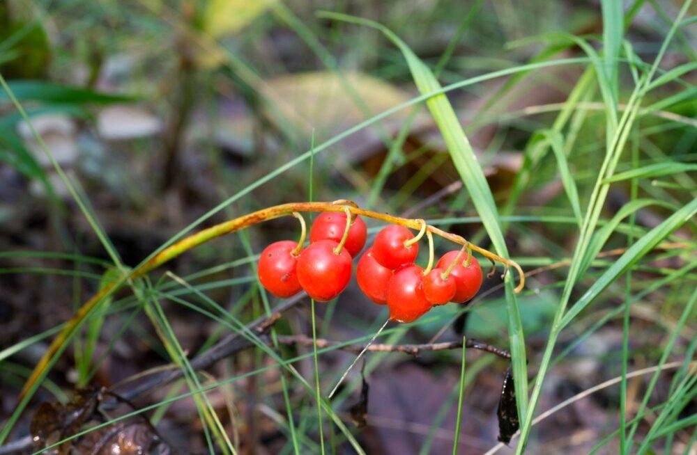 Piibelehe marjad on kaunilt punased, kuid väga mürgised.
