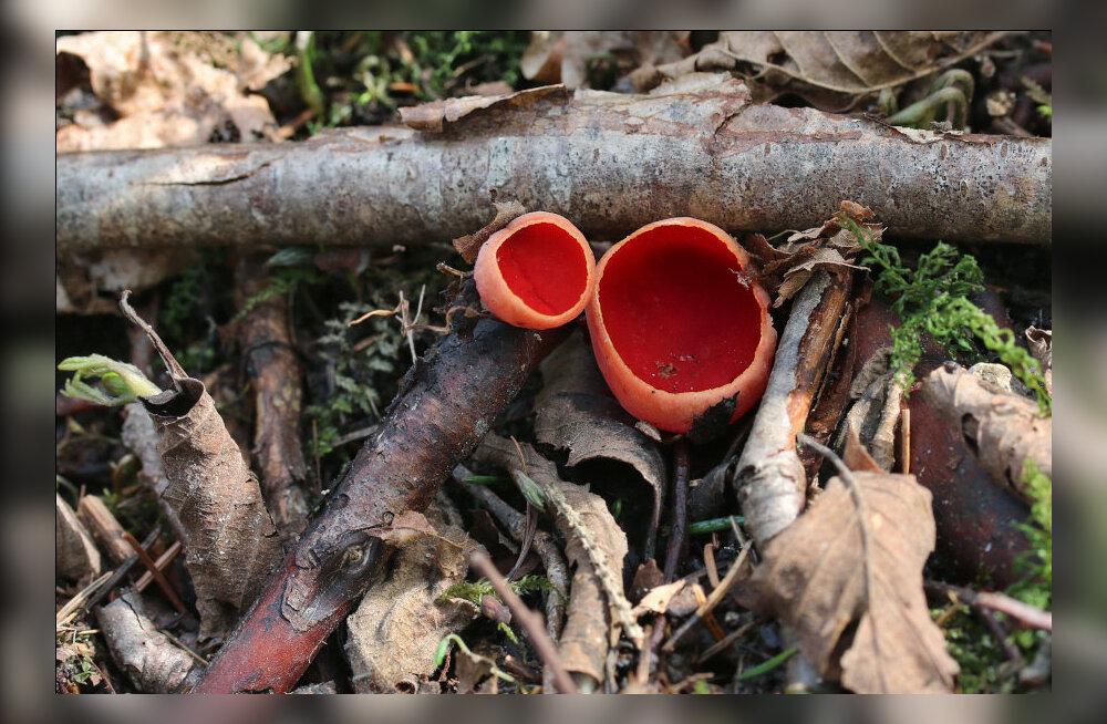 ФОТО: Необычные грибы в эстонских лесах