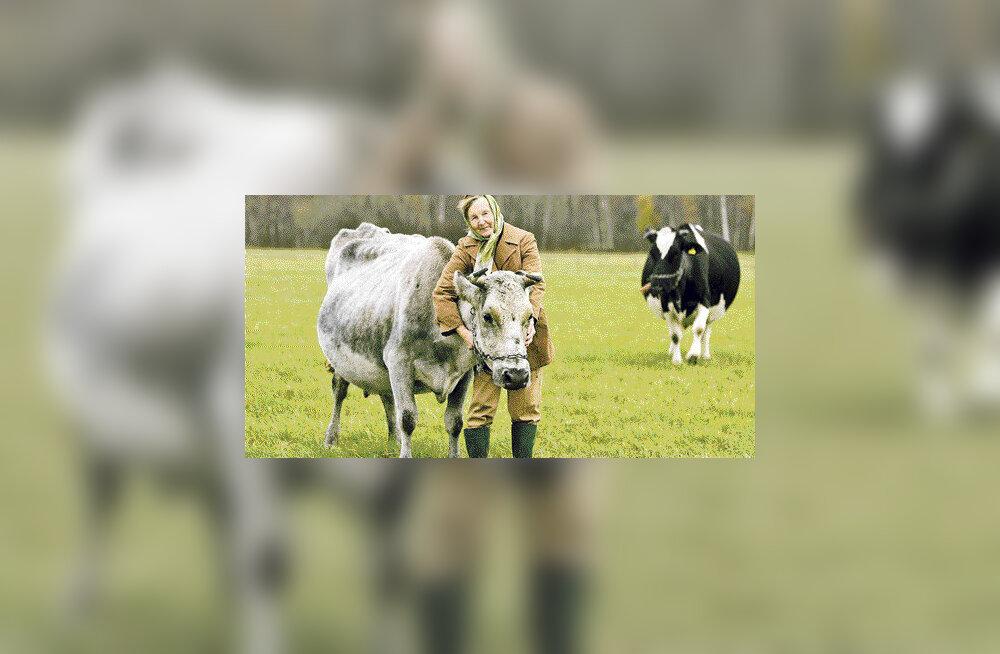 Soome teadlane otsib tõendeid, et Eesti hallid lehmad on eraldi tõug