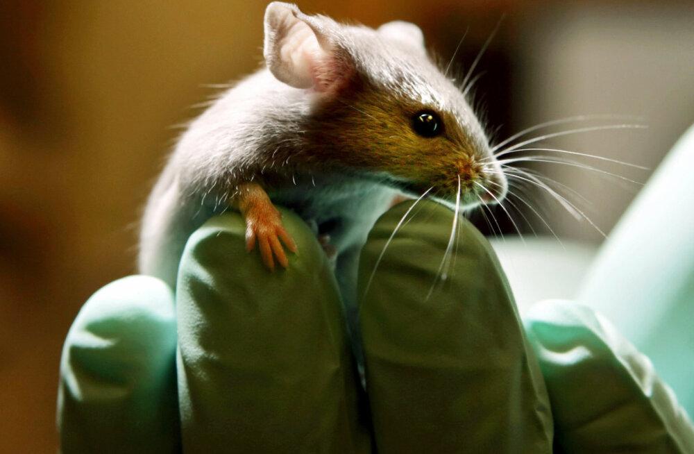 Teadlased siirdasid laborihiirte peadesse edukalt tibatillukesed inimajud