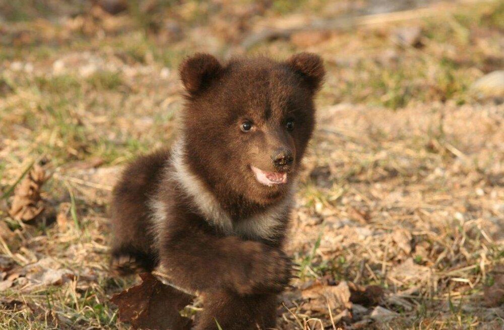 Eesti ainsad karude rehabiliteerijad: Saaremaa karupoegade ema kas aeti poegade juurest ära või hukkus