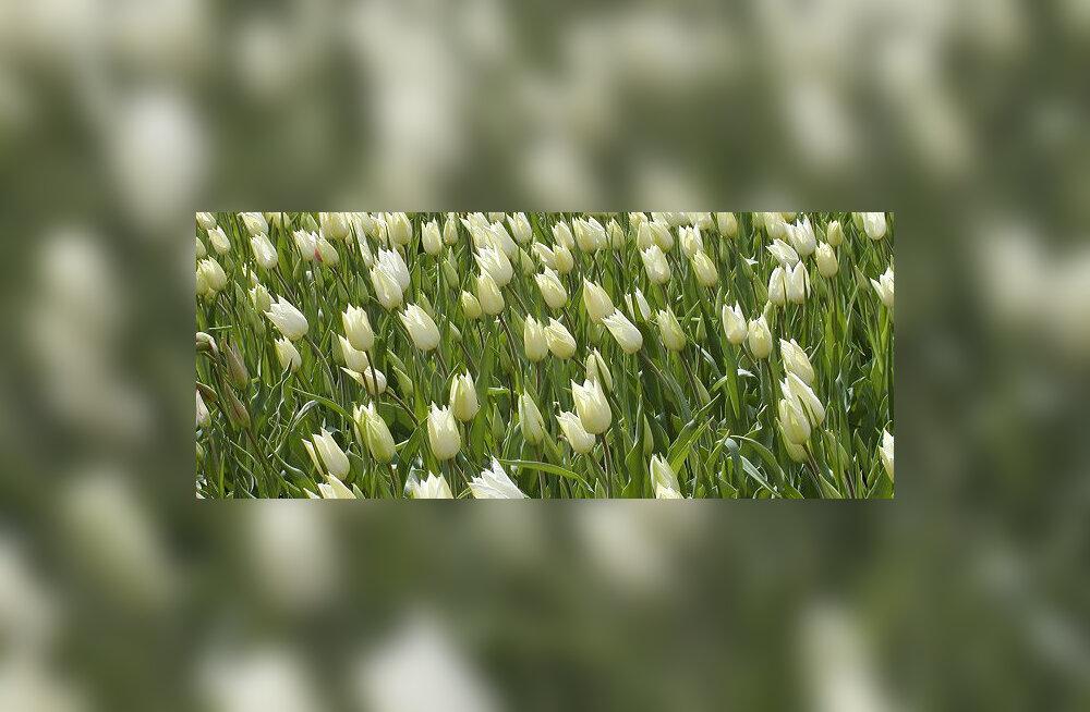 Eestlasi ja venelasi kutsutakse üksteisele valgeid lilli kinkima