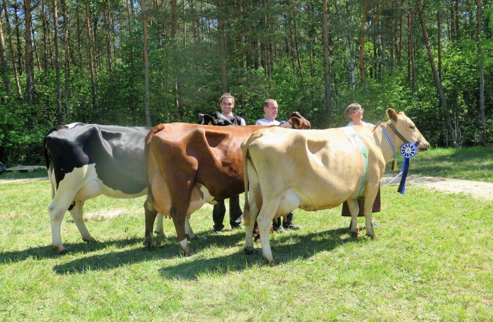 FOTOD: Saaremaal valitakse saare kauneimat lehma