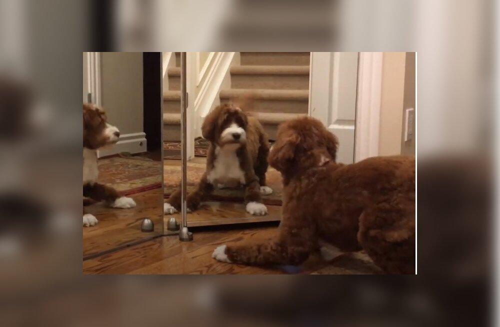 VIDEO | Esimest korda peegli ees? Koera reaktsioon oma peegelpildile on rabav