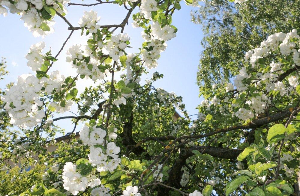 Mõnekraadine külm viljapuude õitsemise ajal võib hävitada kogu loodetava saagi.