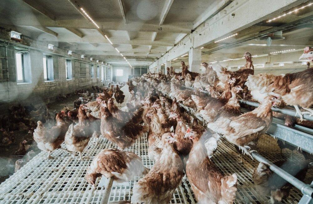 Võnnu mahetalu kanad elavad lahtiselt laudas õrrel, mitte puurides, nagu suur osa nende suguõdesid.