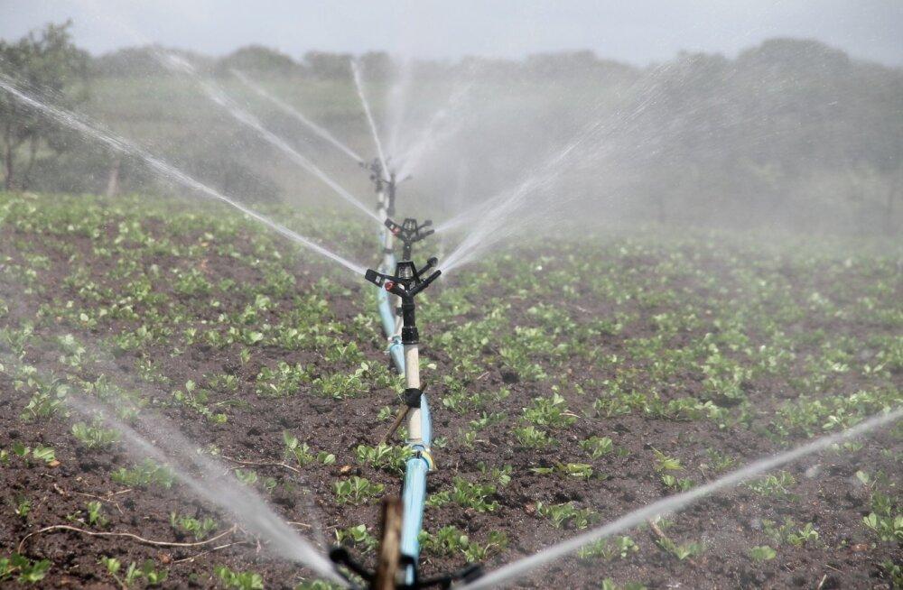 Põuane suvi on pannud köögiviljakasvatajad mõtlema kastmissüsteemide soetamisele
