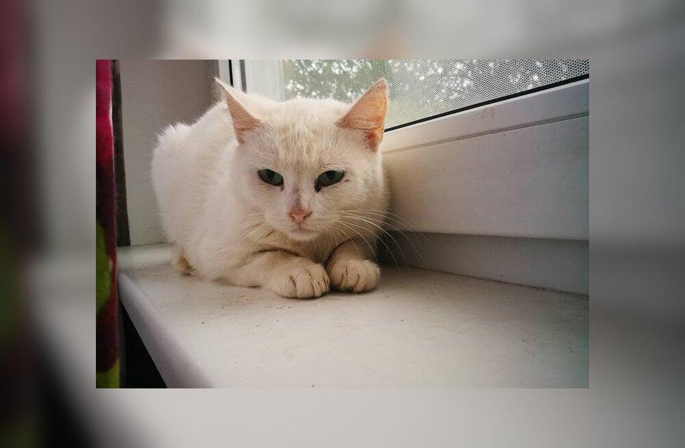 Südamlik ülestunnistus: värvikireva ajalooga kass Valge Daam otsib päris oma kodu
