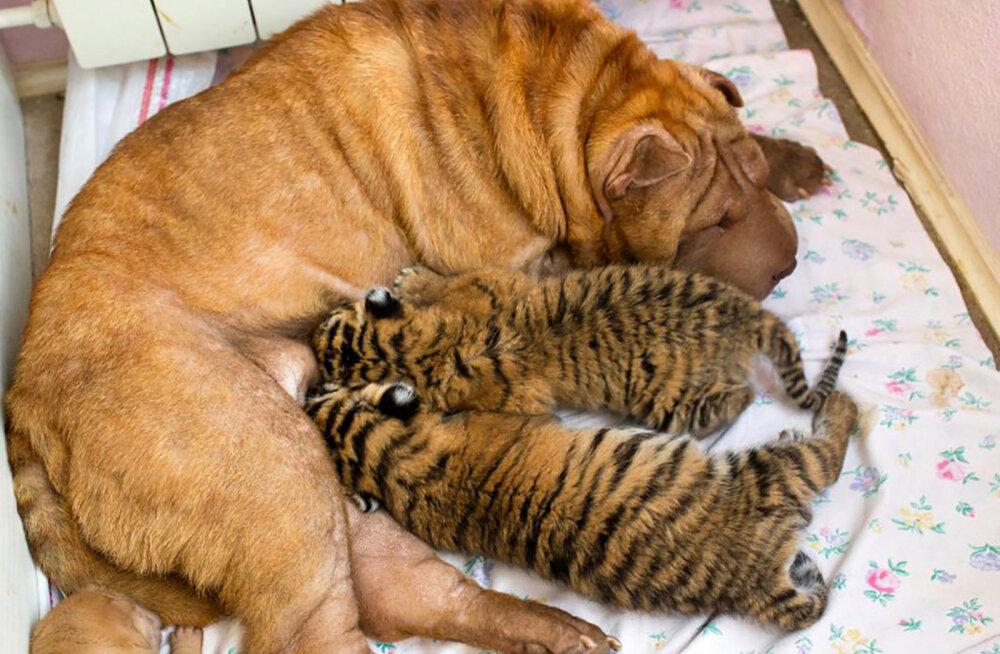 GALERII | Koertel jätkub hellust ja armastust nii tiigrikutsudele kui ka pisikestele pandapoegadele