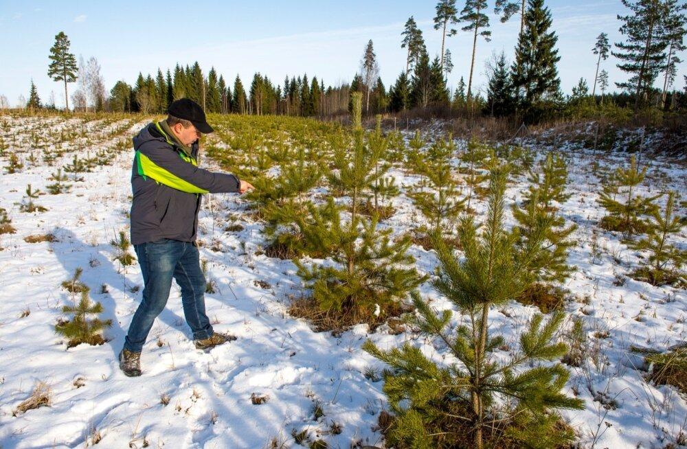 Maaülikooli selektsiooniprogrammi juht Tiit Maaten näitab, et katseala puude kasvus on juba praegu nähtav vahe. Kõige pikemad saavad õiguse paljuneda.