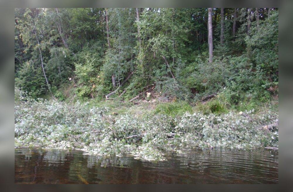 Haruldase kalaliigi asustamine Narva jõkke on läinud edukalt