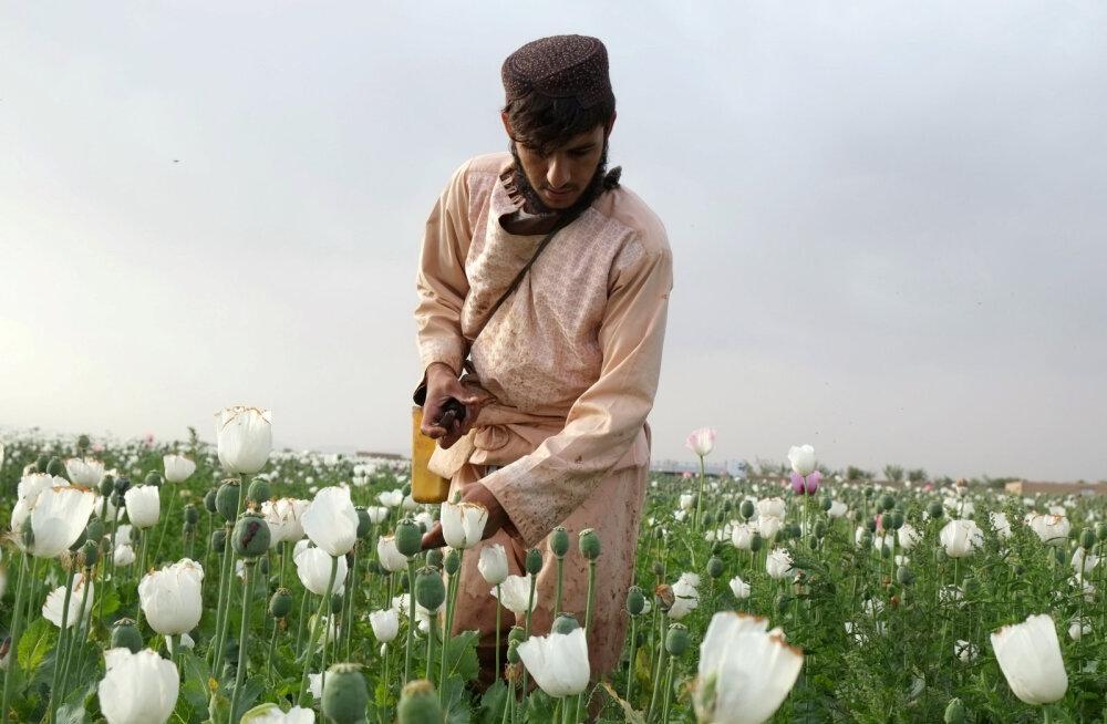 Afganistanis pole majanduslikult head alternatiivi oopiumi kasvatamisele