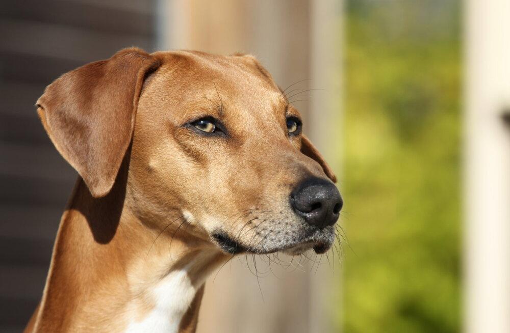 Vaata, millised on maailma kõige hinnalisemad koeratõud