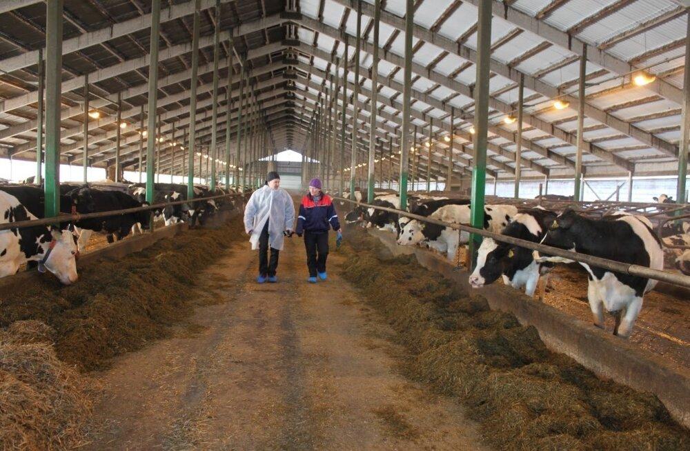 Üks kolmest kandidaadist parima piimakarjakasvataja aunimetusele on Kaiu LT OÜ, kes oma mulluse piimatoodanguga 12 233 kilo lehma kohta on holsteini tippkarjade tabelis teisel kohal.