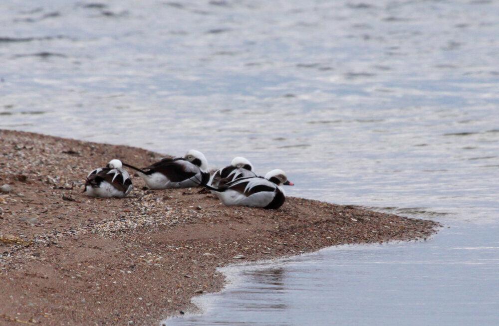 MEIE MAA | Sõrve randa jõudsid õlised linnud