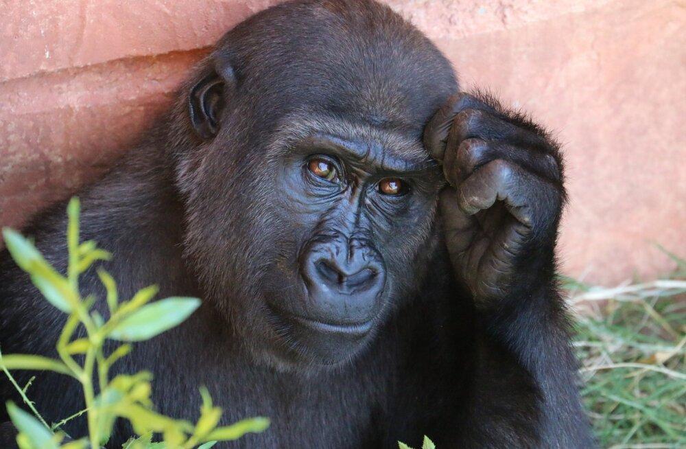 Liigutav hüvastijätt: viipekeelt kõnelev gorilla Koko on meie seast lahkunud
