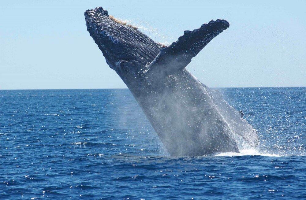 Miks vaalad ja teised mereimetajad nii suured on?