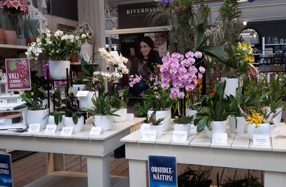 Aianduskeskuses Hansaplant näeb maailma kõige kallimat orhideed!