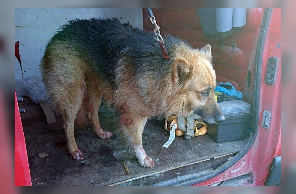 Elva vallast puu külge seotuna leitud koera omanikku väärteo toimepanemises ei kahtlustata