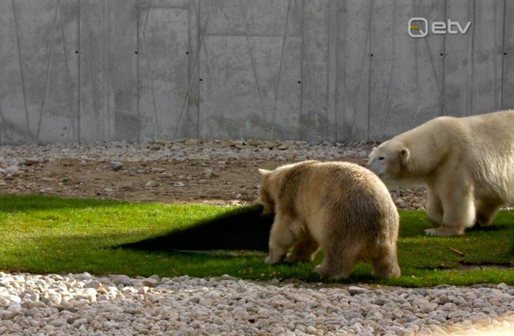 NUNNUD FOTOD | Vaata, kuidas Tallinna loomaaias lustib pühade ajal väike jääkarupoiss Aron
