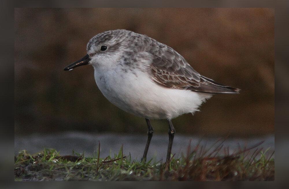 FOTO   Tere tulemast: pärast aastatepikkust analüüsi sai selgeks, et Eestist leiti täitsa uus linnuliik
