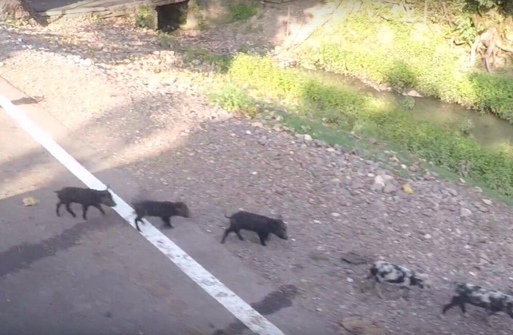 REISIBLOGI VIDEO: Maanteel koos lehmade ja sigadega – kuus tundi bussiga Batumist Mestiasse