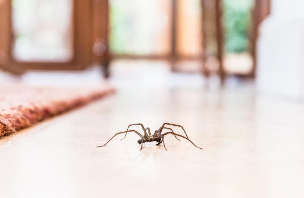 Väga hea põhjus, miks ühtegi ämblikku tappa ei tohiks